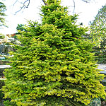 Abies nordmannianna - Golden Spreader - Golden spreading Fur - 2nd Image