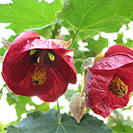 Abutilon - Nabob - Abutilon, Flowering Maple
