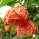 Abutilon - Pictum - Abutilon, Flowering Maple