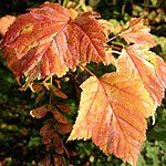 Acer albolimbatum - Ornamental Maple