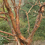 Acer griseum - Paper Bark Maple - 2nd Image
