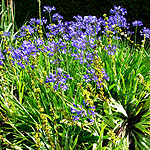 Agapanthus - Mabel Grey - African Lily - 2nd Image