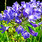 Agapanthus - Mabel Grey - African Lily