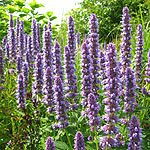 Agastache  - Blue Fortune - Giant Hyssop - 2nd Image