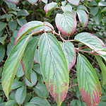 Amelanchier alnifolia - Amelanchier - 2nd Image