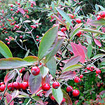 Aronia arbutifolia - Red Chokeberry