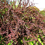Berberis ottawensis - Superba - Barberry, Berberis