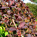 Berberis ottawensis - Superba - Barberry, Berberis - 2nd Image