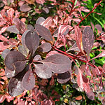 Berberis  thunbergii - Rose Glow - Berberis