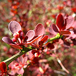 Berberis thunbergii - Atropurpurea - Barberry - 2nd Image