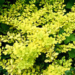 Berberis thunbergii - Aurea - Golden Berberis
