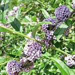 Buddleja alternifolia - buddleja
