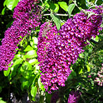 Buddleja davidii - Nanho Purple