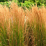Calamagrostis x acutiflora - Karl Foerster - Feather Reed Grass - 2nd Image