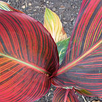 Canna - Phasion - Canna Lily - 2nd Image