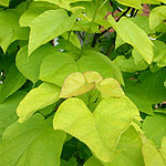 Catalpa bignonioides - Aurea - Indian Bean Tree