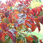 Cercis canadensis - Forest Pansy - Cercis, Eastern Red Bud - 2nd Image