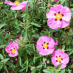 Cistus purpureus - Betty Taudevin - Rock Rose