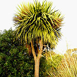 Cordyline australis - Cordyline, Cabbage, Palm