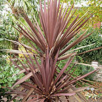 Cordyline australis - Red Sensation - Cordyline, Cabbage Tree