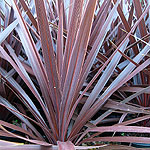 Cordyline - Red Star - Cordyline, Cabbage palm