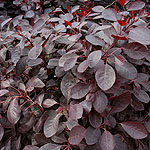 Cotinus coggygria - Follis Purpureis - Smoke Bush