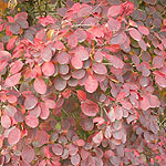 Cotinus coggygria - Royal Purple - Smoke tree
