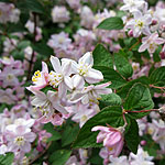Deutzia X elegantissima - Fasciculata - Beauty Bush, Deutzia