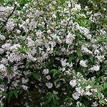 Deutzia hybrida - Contraste - Beauty Bush, Deutzia - 2nd Image