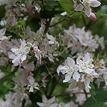 Deutzia hybrida - Contraste - Beauty Bush, Deutzia