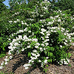 Deutzia x magnifica - Beauty Bush,  Deutzia - 3rd Image