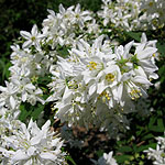 Deutzia x magnifica - Beauty Bush,  Deutzia - 2nd Image
