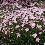Dianthus - Nyewoods Cream - Dianthus,  Pink