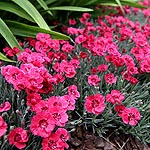Dianthus  - Red Star - Dianthus, Pink
