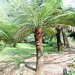 Dickinsonia antarctica - Tree Fern