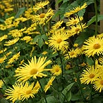 Doronicum orientale - Leopards Bane