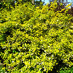 Euonymus fortunei - Emerald n Gold - 2nd Image