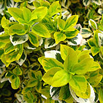 Euonymus fortunei - Emerald n Gold