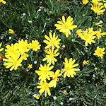 Plant pictures ground cover plants with yellow flowers euryops pectinatus mightylinksfo