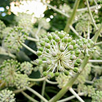 Fatsia japonica - Fig leafed palm - 3rd Image