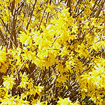 Forsythia X intermedia - Golden Bell