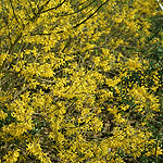 Forsythia - Maree De Or