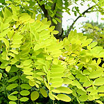 Gleditsia triacanthos - Sunburst - Honey Locust