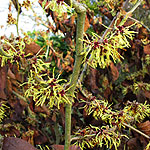 Hamamelis X intermedia - Moonlight - 2nd Image