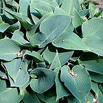 Hosta halcyon - Plantain Lily