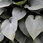 Hosta halcyon - Plantain Lily - 2nd Image