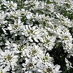 Iberis sempervirens - Candytuft - 2nd Image