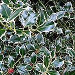 Ilex aquifolium - Argentea Marginata - Holly - 2nd Image