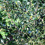 Ilex aquifolium - Crispa - small leaved holly, Ilex