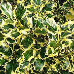 Ilex aquifolium - Golden Queen - Golden Holly - 2nd Image